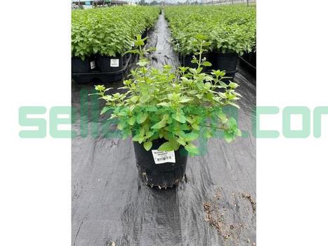 Buy Nepeta Blue Wonder Catmint Plant - 1...
